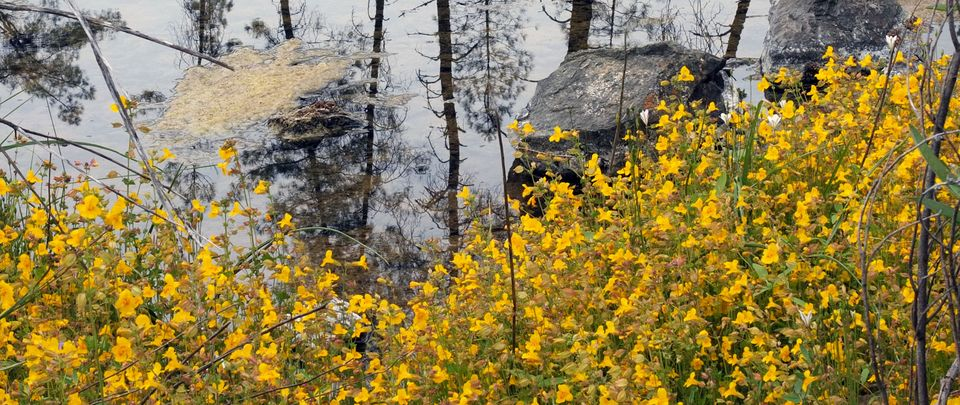 Pond with Mimulus plants @simon aeschbacher UZH