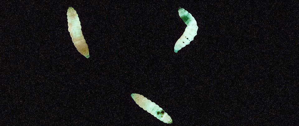 Bioluminescent insect larvae