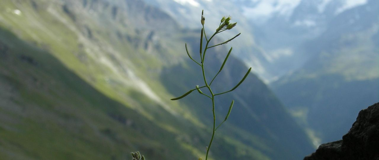 Arabidopsis thalliana