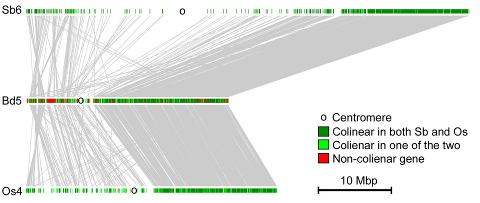 Comparative analysis of gene order and conservation in grass chromosomes