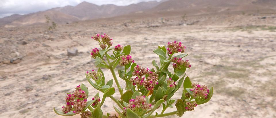 Cistanthe celosioides (Montiaceae) after an El Nino event in the Atacama desert in Peru