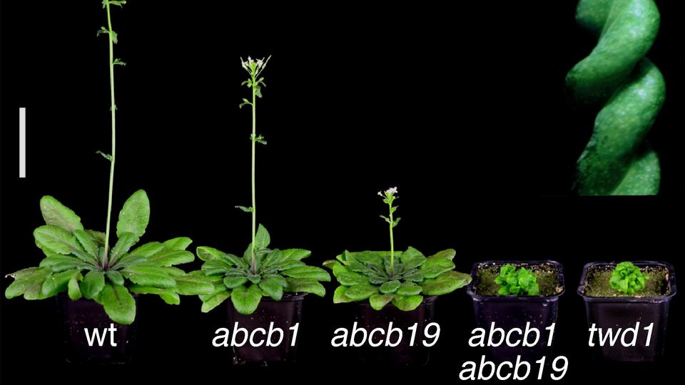 arabidopsis phenotypes