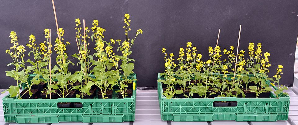 Brassica rapa plants after 9 generations of pollination by bumblebee (left) or Schwebefliegen hoverflies (right)