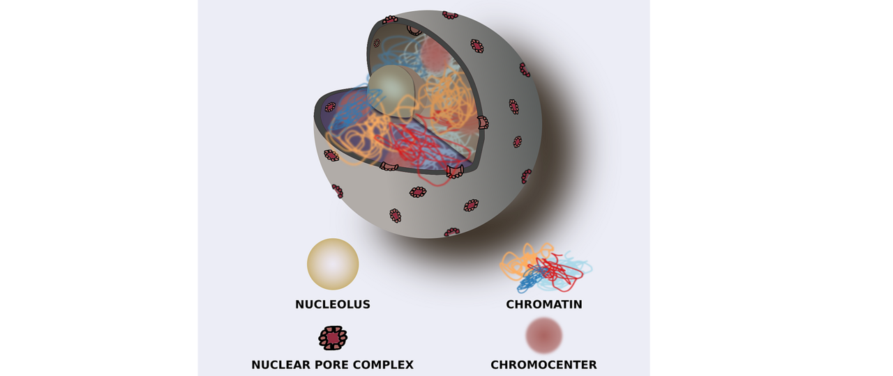 Cartoon representation of a nucleus Stefan Grob