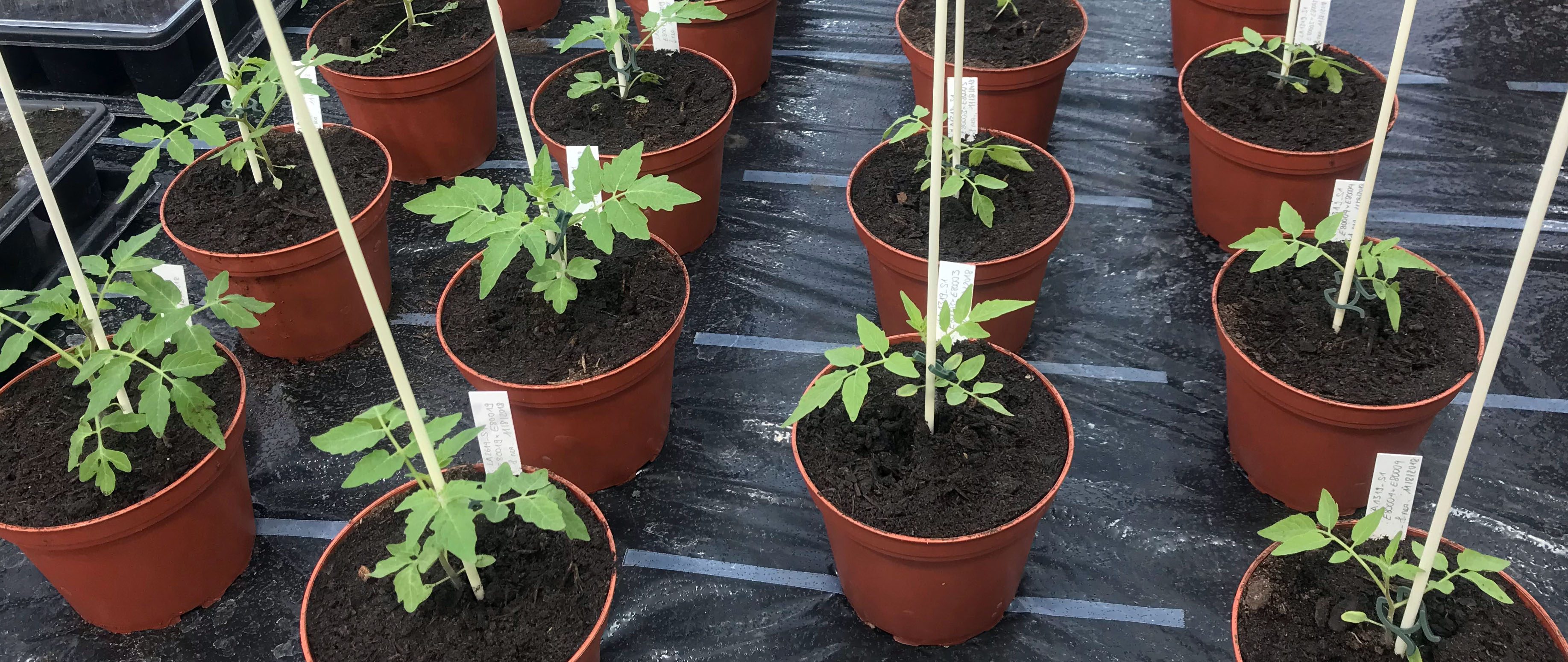 tomato plants in greenhouse @simon aeschbacher UZH